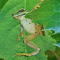 Tree Frog And Mahonia. by Will LaVigne