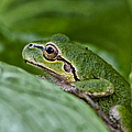 Tree Frog by Betty Depee