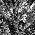 Tree Giant by Robert Meyers-Lussier