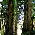 Tree Giants by Barbara Stellwagen