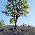 Tree Growing In Ash In Sunset Crater Volcano National Monument by Fred Stearns
