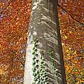 Tree In Autumn by Alain Michiels