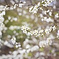 Tree In Blossom by Science Photo Library