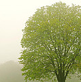 Tree In Fog by Elena Elisseeva