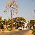 Tree In Goa by Carol Ailles