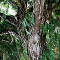 Tree In Kauai by Suzanne Luft