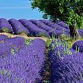 Tree In Lavender by Brian Jannsen