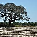 Tree In Plowed Field by Randi Kuhne