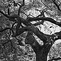 Tree In Prescott Park - Bw by K Hines