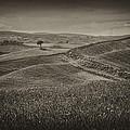Tree In Sienna by Hugh Smith