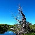 Tree In The Marsh by Robert Happersberg