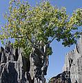 Tree In The Tsingy De Bemaraha Madagascar by Rudi Prott