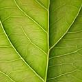 Tree Leaf by Stefan Petrovici