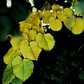 Tree Leaves In Yellow Green by Alfredo Martinez