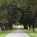 Tree Lined Drive - D008564 by Daniel Dempster