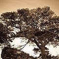 Tree Of Life In Sepia by Douglas Barnett