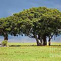 Tree On Savannah. Ngorongoro In Tanzania by Michal Bednarek