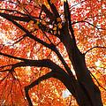Tree Orange Blast by Joseph Hedaya