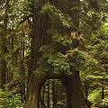 Tree Redwood Ca 7 by John Brueske