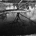 Tree Reflections On The Pond by Rachel  Butterfield