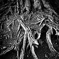 Tree Roots Black And White by Matthias Hauser