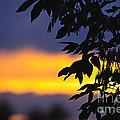 Tree Silhouette Over Sunset by Elena Elisseeva