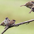 Tree Sparrows by Chris Smith