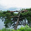 Tree Struck By Lightning by Kerstin Ivarsson