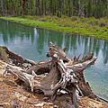 Tree Stump In Des Chutes Nf-or by Ruth Hager