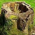 Tree Stump by Phil Nolan