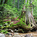 Tree Stump - White Mountains New Hampshire by Erin Paul Donovan