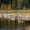 Tree Stumps At Clear Lake by Athena Mckinzie