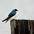 Tree Swallow - 06.14.2014 by Jai Johnson