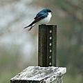 Tree Swallow by Brenda Conrad