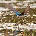 Tree Swallow In Flight by Richard Kitchen