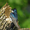 Tree Swallow by James Peterson