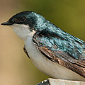 Tree Swallow by Roger Becker
