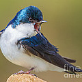 Tree Swallow Squawking by Jerry Fornarotto
