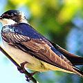 Tree Swallow by William Fox