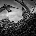 Tree Swallows In Nest by Bob Orsillo