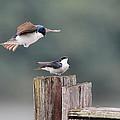 Tree Swallows Mating 1 by Jai Johnson
