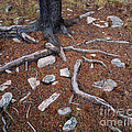 Tree Trunk Roots And Rocks by Tracy Knauer