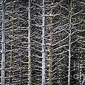Tree Trunks In Winter by Elena Elisseeva