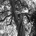 Tree by Vincent Billotto