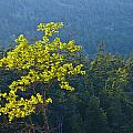Tree With Yellow Leaves In Acadia National Park by Randall Nyhof