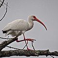 Treed Ibis by Teresa Blanton