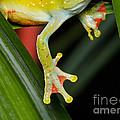 Treefrog Foot by Martin Shields