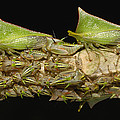 Treehoppers And Nymphs Mindo Ecuador by Pete Oxford