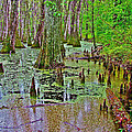 Trees And Knees In Tupelo/cypress Swamp At Mile 122 Of Natchez Trace Parkway-mississippi by Ruth Hager