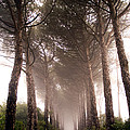 Trees And Mist by Tim Holt